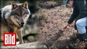 <b>3 Wolfs-Attacken in 8 Tagen -  auf den Spuren des Cuxhavener Wolfs-Rudels</b>