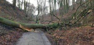 Baumfaellung einer 30 m hohen...