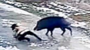 <b>Wildschwein - Killer-Pig - tötet einen Menschen</b>
