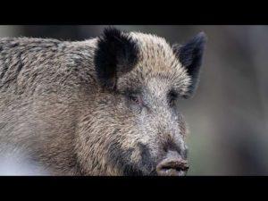 Dinslaken: Wildschwein randal...