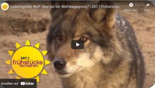 Lebensgefahr Wolf:  Was tun b...