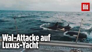 30 Killerwale greifen Yacht a...